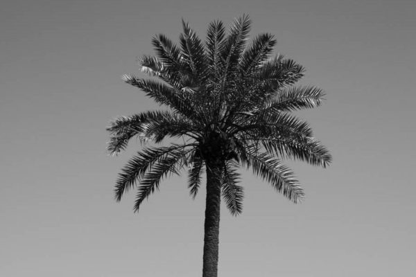 Three palm trees