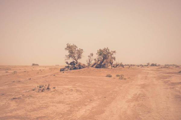 Camels Desert