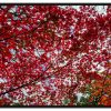 Caisse americaine Small red tree leaves